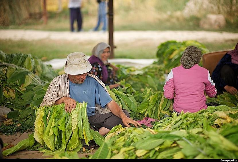 Dienas laikā viens strādnieks... Autors: Džordžs no Džungłiem Kā izaudzē tabaku ?