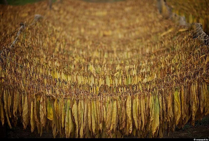 Lietains laiks  bojā tabkau tā... Autors: Džordžs no Džungłiem Kā izaudzē tabaku ?