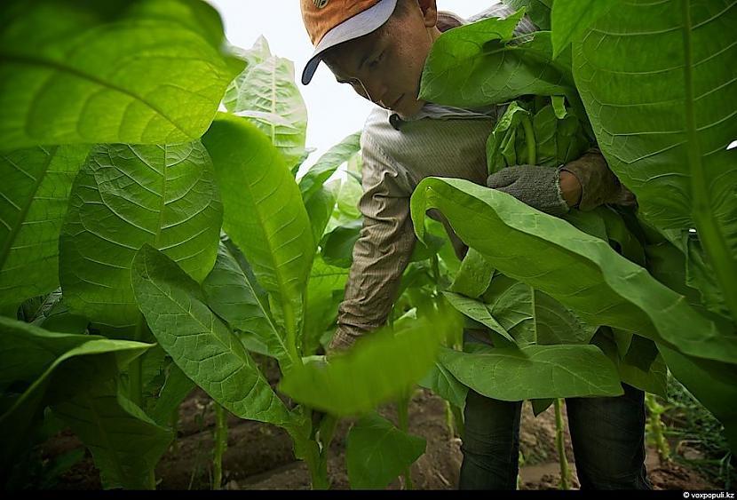 Lapas sāk savākt jūlija beigās... Autors: Džordžs no Džungłiem Kā izaudzē tabaku ?