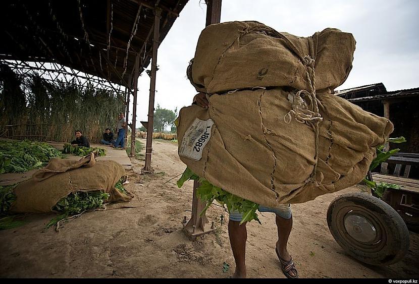 Viens pilnais maiss ar tabaku... Autors: Džordžs no Džungłiem Kā izaudzē tabaku ?