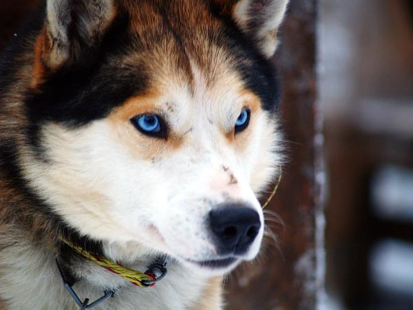 HASKIJI  Lai gan haskijiem... Autors: sunshinee Bīstamākie suņi pasaulē.