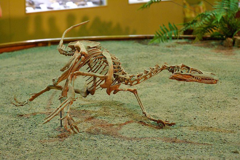 Velociraptors Autors: sekers Skeletori 2