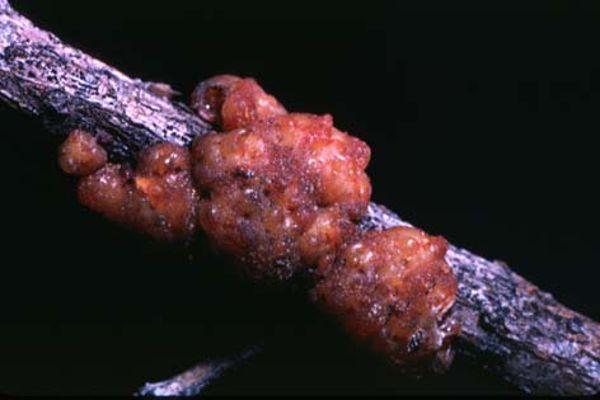 Kukaiņu izkārnījumiscaronī... Autors: snikki Ko mēs apēdam nezinot.