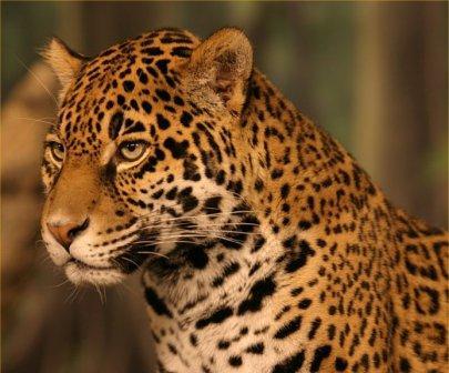 arī jaguārs murrrrr Autors: Perpetuja Hibrīd-zvēri no leopardiem un jaguāriem
