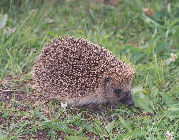hedgehog Autors: Lincho Some animals=)