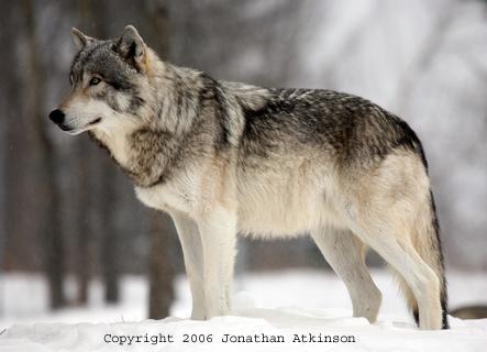 vilki irnepieciešmi mežos lai... Autors: angelus3D skaisti dzīvnieki 1 (vilki)