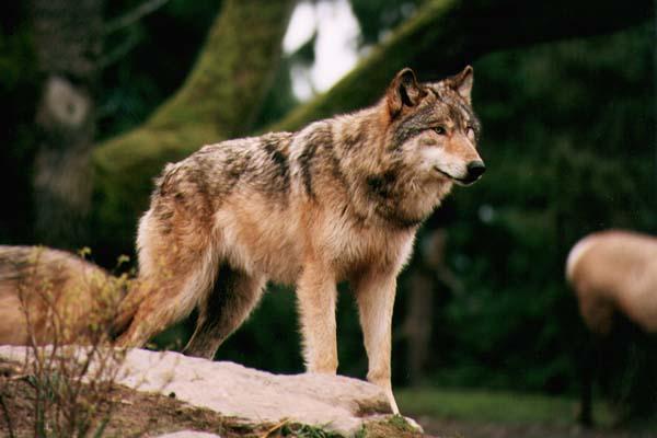 BaroscaronanāsVilks ir tipisks... Autors: scary monster vilks