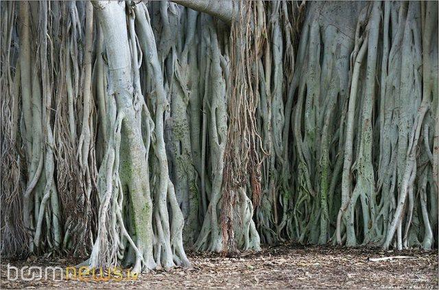 Autors: GreenStarlight Pasaulē augstākais koks