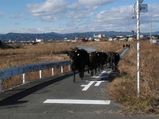 Liellopi arī tiek glābti Autors: Jeims0n Pazudušie dzīvnieki no Fukushimas