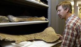 ASV Montānas štatā uzietas... Autors: linards8787 interesanti fakti par dinazauriem!