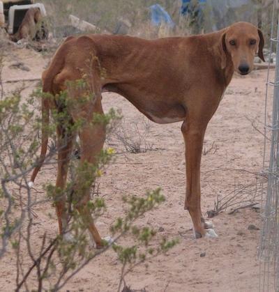 Azavaks ir tempermentīgs... Autors: Mazā Smailija Gludspalvainie suņi