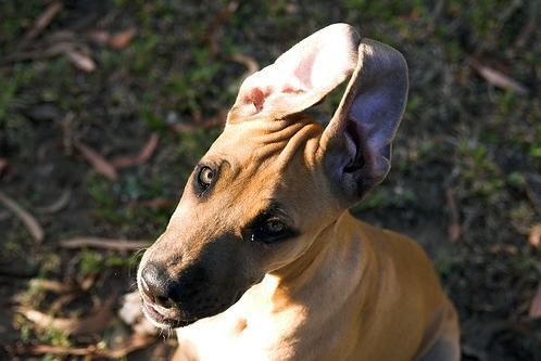 Autors: MoonWolf Jautrās suņu ausis! :D