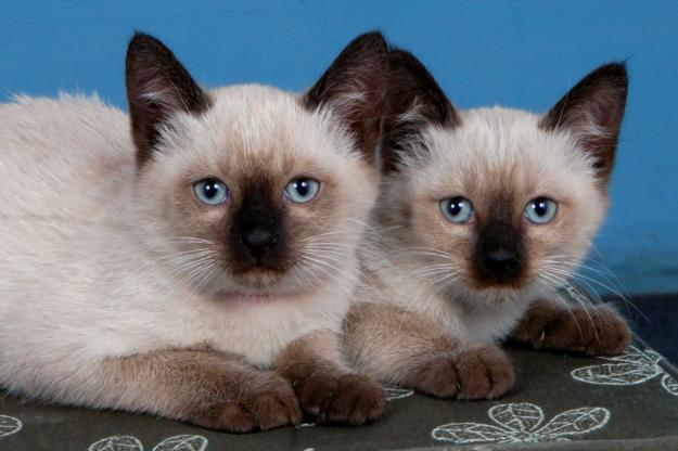 3 Autors: momoo999 kaķu milētājiem 2