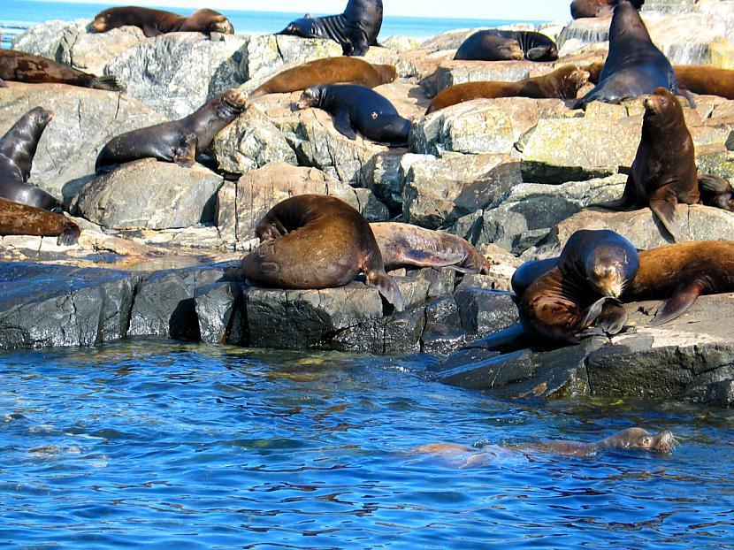 Austrālijā 2007 gadā jūras... Autors: bubina696 California Sea Lion