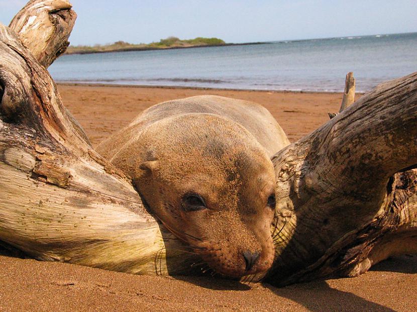 No kotikiem jūras lauvas... Autors: bubina696 California Sea Lion