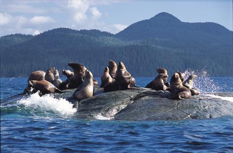 Dažas jūras lauvu sugas viegli... Autors: bubina696 California Sea Lion