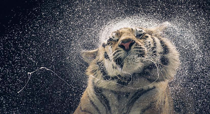Tīģeris krata galvu lai... Autors: Fosilija Dzīvnieku cilvēciskā puse