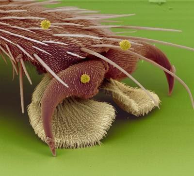 Mājas muscaronas kāja Autors: Sprinteris Zem Mikroskopa