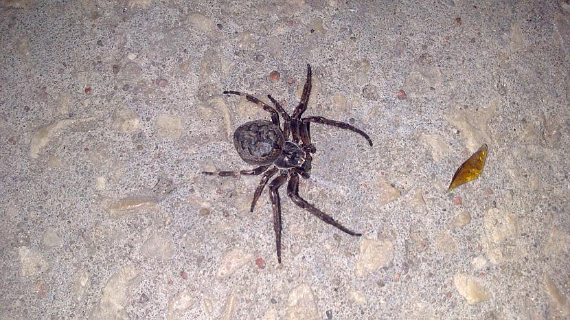 Autors: SpdeR Latvijas indīgākie zirnekļi!
