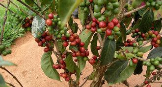 Kafijas koks dod aptuveni... Autors: ResnaisPiiraadzins Eksotiskie augi
