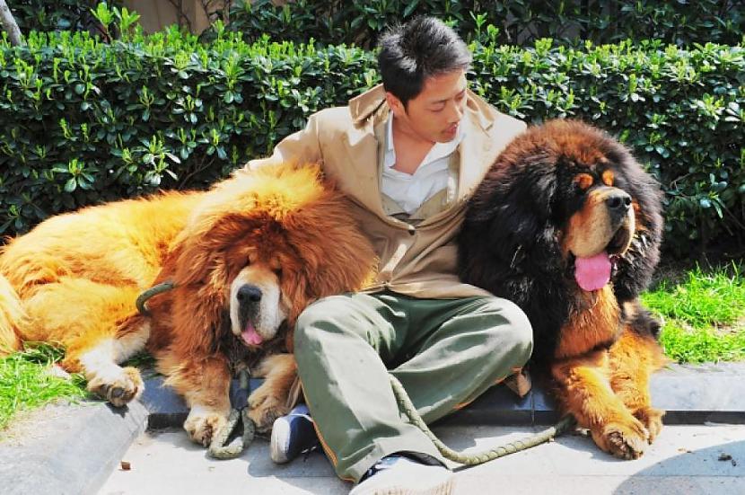 Pasaulē dārgākais suns... Autors: greecinieks Pasaulē dārgākais...