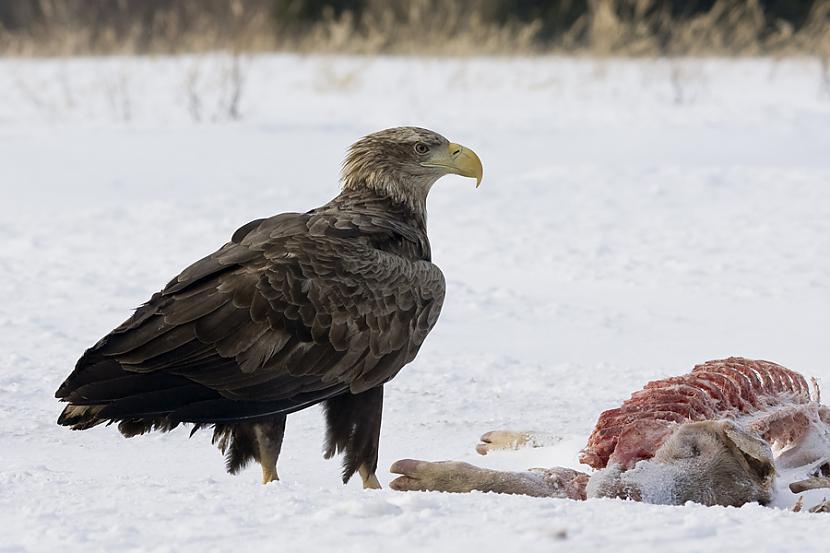 nbsp nbspJūras ērgļiem ir ļoti... Autors: Mao Meow Jūras Ērglis –Latvijā lielākais savvaļas plēsīgais putns.