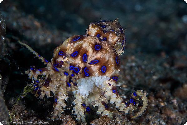Zilgredzenu astoņkājis ... Autors: roma005 Pasaulē indīgākie dzīvnieki.