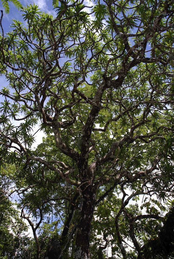 Kavīsaka pūķu koks  koks... Autors: Sanija Dāldere Dažas jaunatklātas sugas 2014
