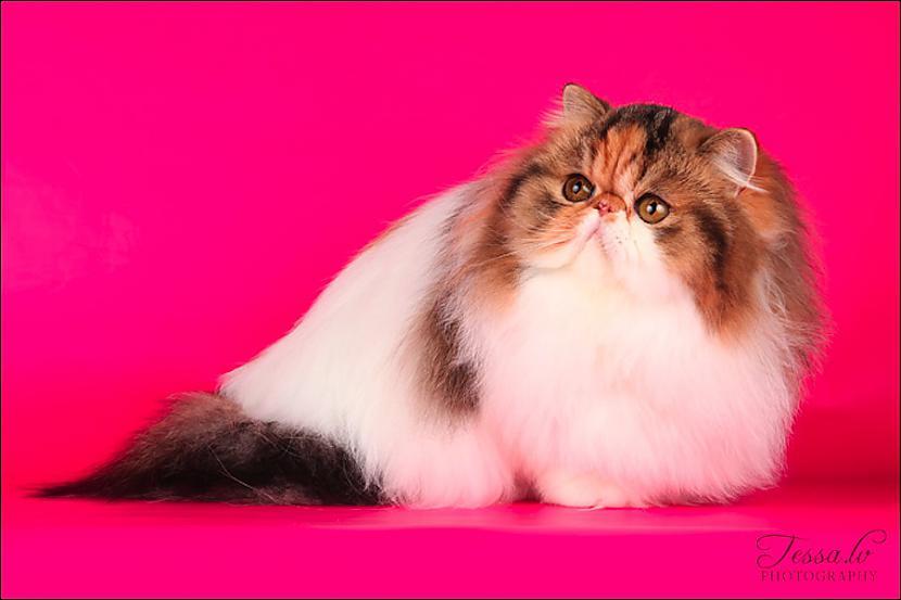 Autors: ĢenerālisHansijs 7 Populārāko kaķu šķirņu apskats: Persijas kaķis