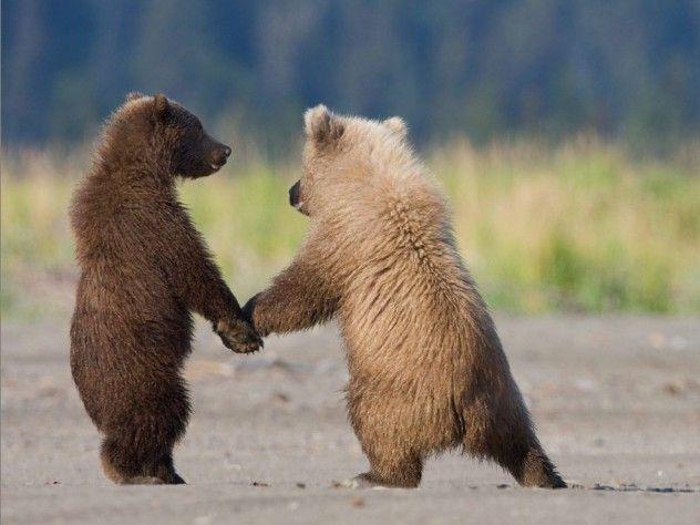 Daži indiāņi lāčus dēvēja par... Autors: Kapteinis Cerība Interesanti Fakti Par LĀČIEM.