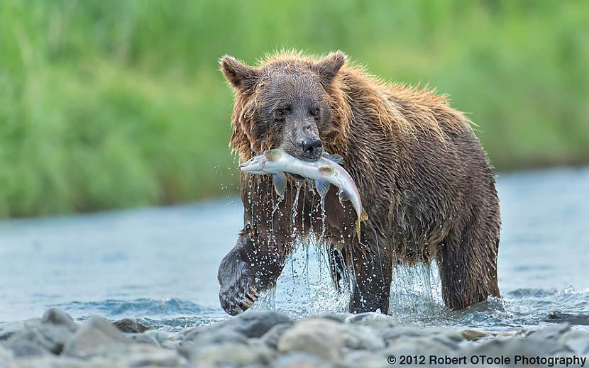 Ēdot lācis var uzņemt savā... Autors: Kapteinis Cerība Interesanti Fakti Par LĀČIEM.