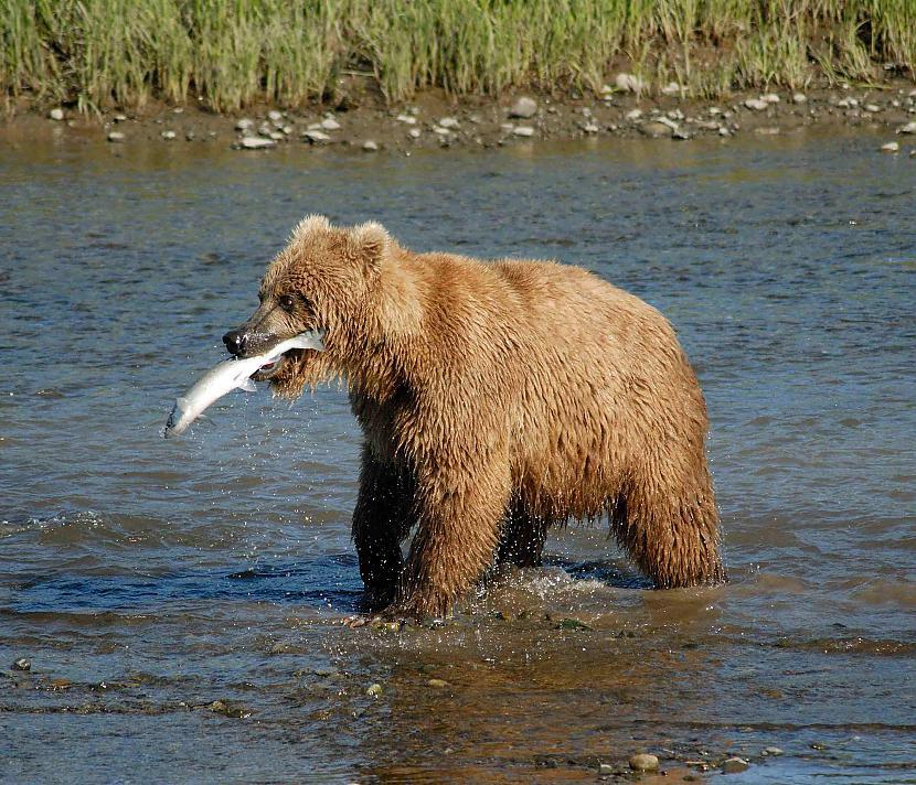 Lai noteiktu lāču vecumu tad... Autors: Kapteinis Cerība Interesanti Fakti Par LĀČIEM.