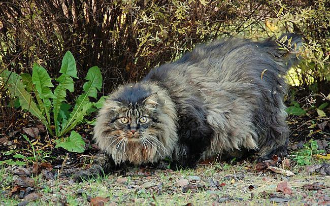Norvēģu meža kaķis  Latvijā... Autors: Lords Lanselots Neko sev mincīši!!