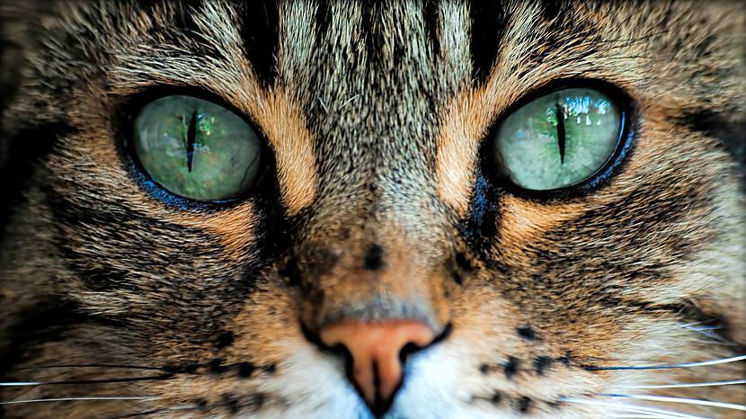 Kaķim ir 32 muskuļi katrā... Autors: ReMarta Vai zināji, ka ...?