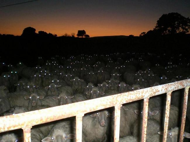 Naksnīgi aitu skatieni Autors: Fosilija Gluži kā filmās...šausmu