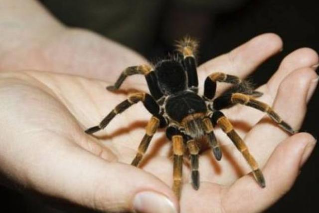 Polijā zirnekļi vai zirnekļa... Autors: super kaste Ziemassvētku fakti