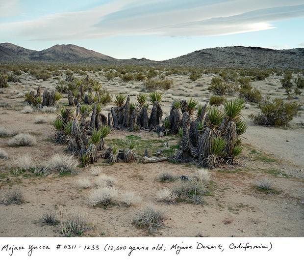 Mojave Yucca 12 000 gadu... Autors: Fosilija Neparasti augi pasaulē
