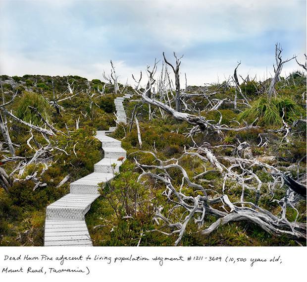 Lagarostrobos franklinii 10500... Autors: Fosilija Neparasti augi pasaulē