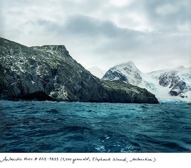 Antarktiskās sūnas 5500 gadi... Autors: Fosilija Neparasti augi pasaulē