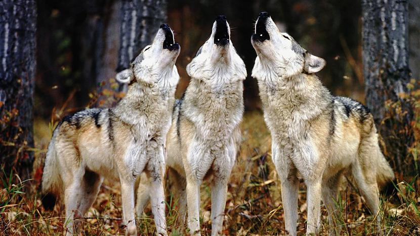 Vilki var viegli izaugt līdz... Autors: Kapteinis Cerība Nelieli šokējoši fakti par vilkiem