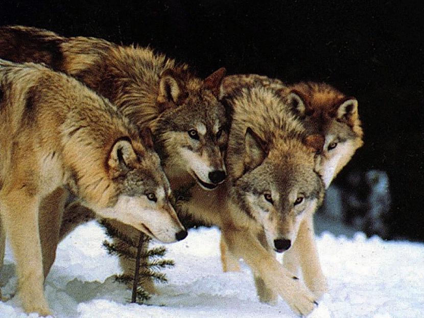 Kopscaron viduslaikiem vilki... Autors: Kapteinis Cerība Nelieli šokējoši fakti par vilkiem