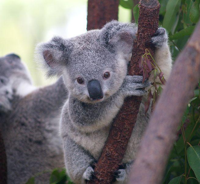 Koalas nav īstenībā lāči bet... Autors: Black Lagoon 10 Fakti Par Dzīvniekiem