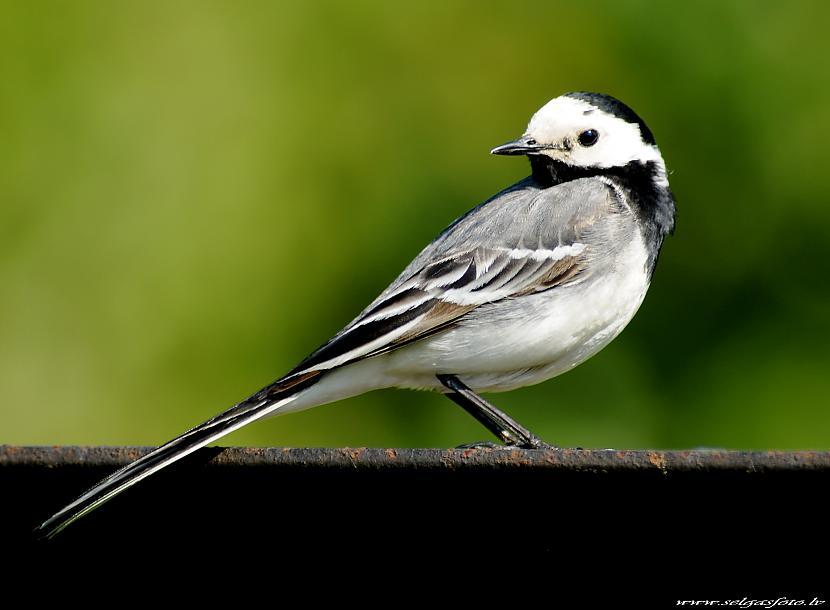 Latvijas nacionālais putns ir... Autors: chupachabra Valstu nacionālie putni