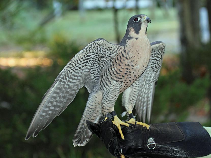 Apvienotajos Arābu Emirātos un... Autors: chupachabra Valstu nacionālie putni