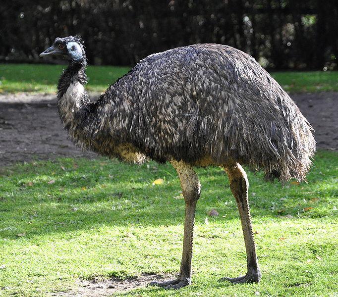Austrālijas nacionālais putns... Autors: chupachabra Valstu nacionālie putni