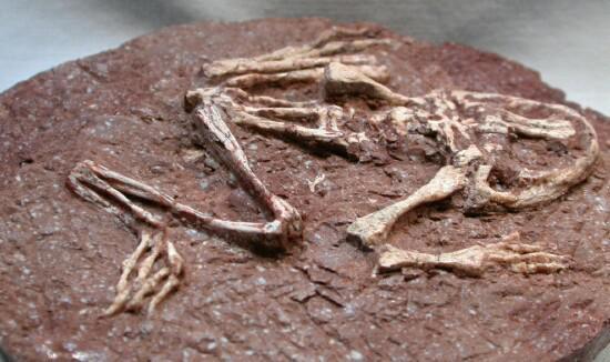 Scaronāda izskatās fosilija Tā... Autors: IesalniecesMotivi Atrasta pirmā dinazaura fosilija!