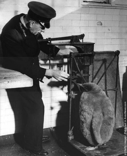 Zooloģiskā darbinieks sver... Autors: theFOUR Vēsture bildēs - 3. daļa.