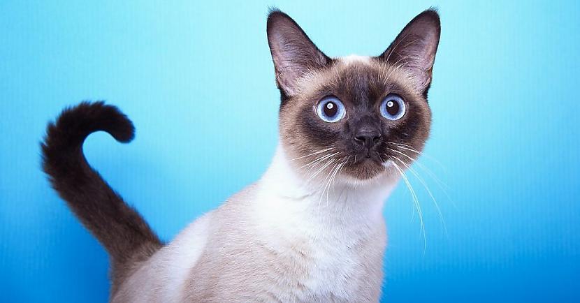 Siāmas kaķu tumšo apspalvojuma... Autors: Fosilija Interesantu faktu paka par KAĶIEM