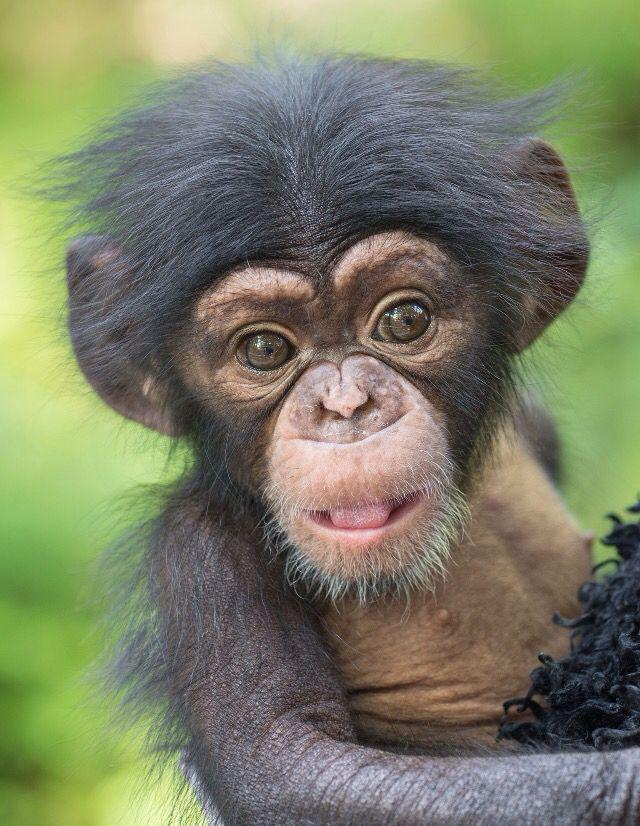 Autors: begimots52 Fakti par Šimpanzēm