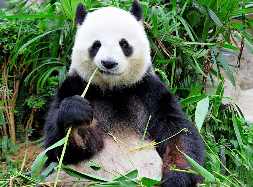 Pandas var nodzīvot 20 gadus... Autors: ere222 zxzxhzc Pandas
